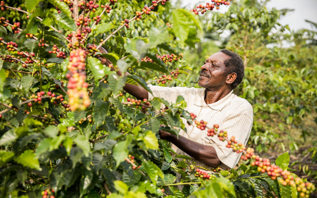 Day In The Life Of A Coffee Farmer – Kambere